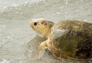 SeaWorld's Animal Rescue Team returned a loggerhead sea turtle to the ocean at Canaveral National Seashore on Florida's east coast.