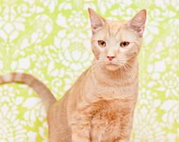 Ajax is a cat available to be adopted at the Orange County Animal Shelter.